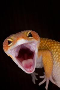 Gecko Eye Width